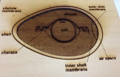 דיאגרמה בולטת להסבר על מבנה הביצה